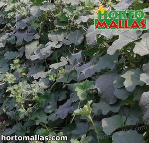 vertical support system with net used in pumpkin crops