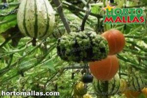 pumpkin crops using trellis net in garden
