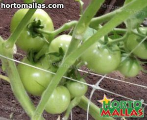 tomato crops with horticulture string