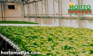 hydroponic tomatoes in greenhouse