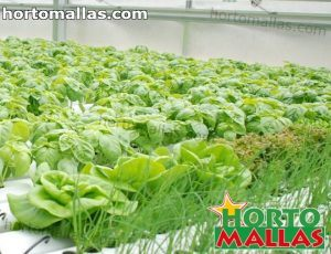 tomato crops in  hydroponic system