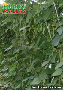 long beans crops in cropfield