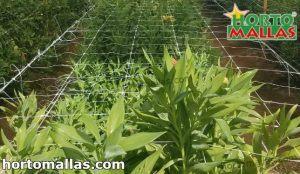 método scrog aplicado a cultivos