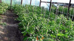 Rafia para tomates