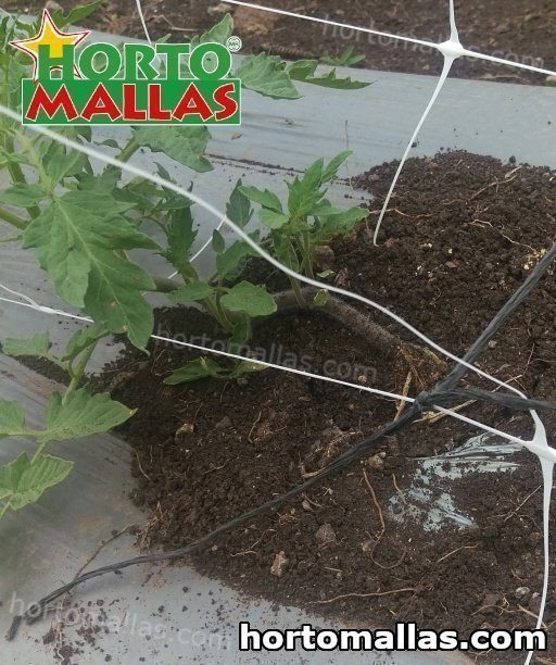 Effects of Tomato Raffia Twine, Trellis netting, and Tomato Net on plants
