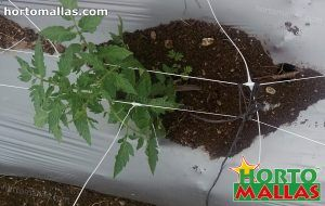 Netting supports Tomato plants