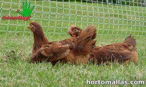 polli all'interno di pollaio