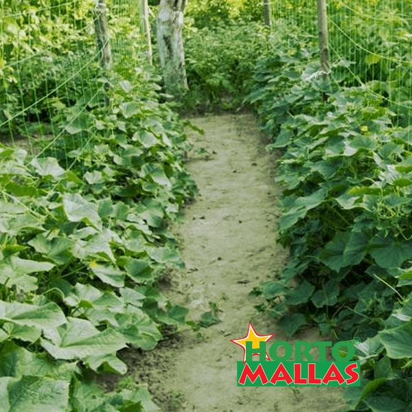 entutorar tu cultivo ayuda a disminuir los agentes fitopatógenos del suelo.
