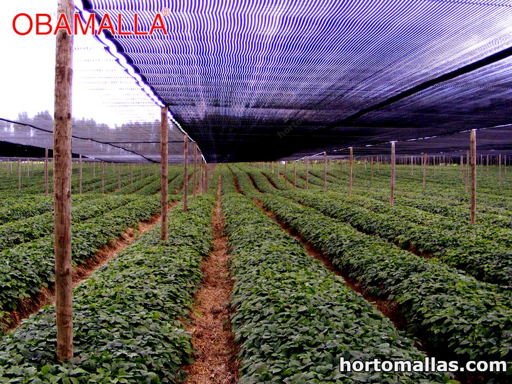 Malla sombra fotoselectiva en cultivos de fresas para inhibir la floración