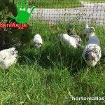 malla gallinera chickenmalla