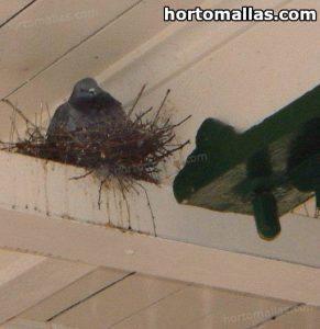 paloma en nido instalado bajo techo