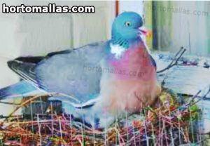 paloma en nido