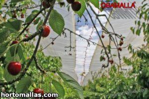 cultivo de berries protegidos con malla de sombreamiento