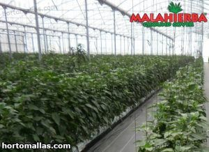 crops protected with malahierba and thermal blanket