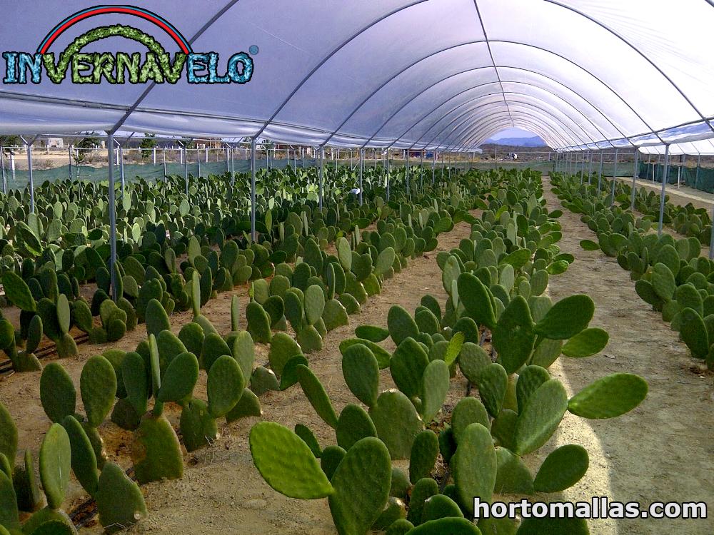 Cultivo de Nopal en invernadero con INVERNAVELO