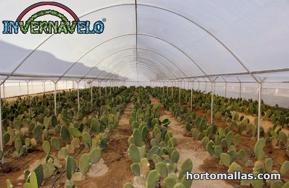 Cultivo de Nopal protegidos en invernadero