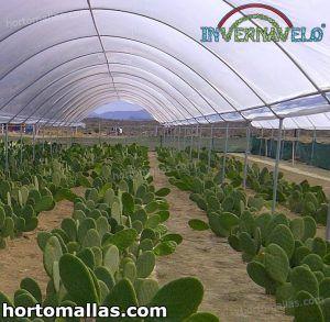 cultivo de nopales protegidos con tela invernavelo