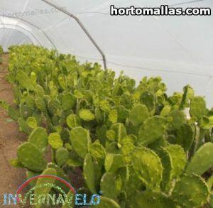 invernadero con cultivo de nopales