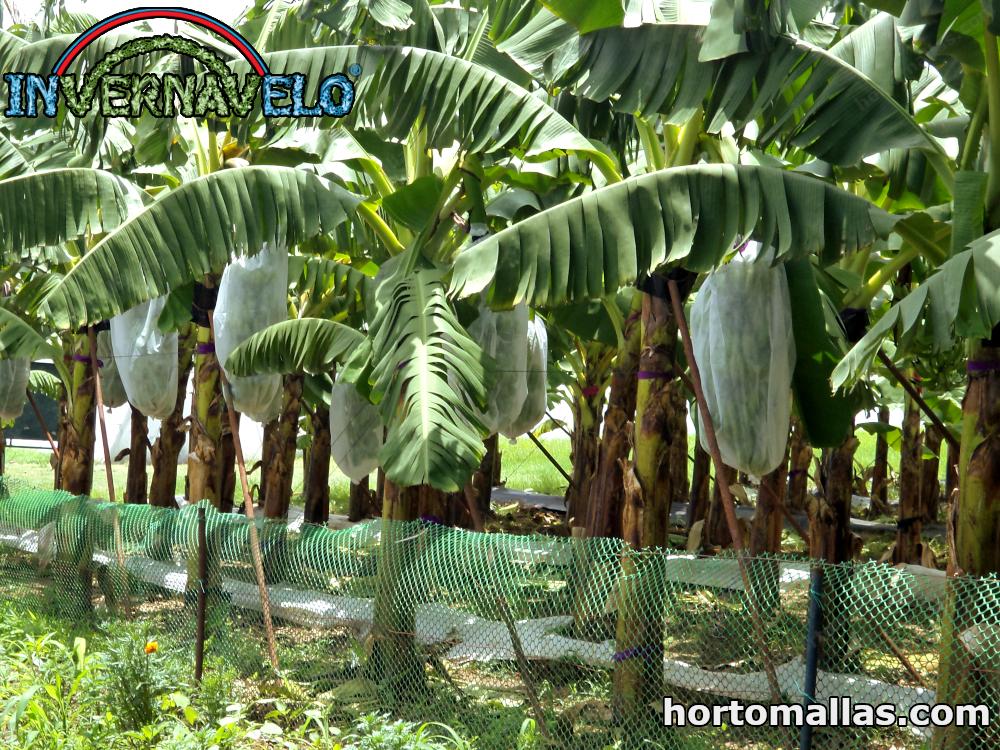 Protección de cultivo de platanos con manta térmica