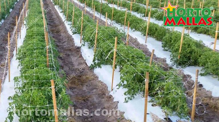 tomato cages with HORTOMALLAS trellis netting