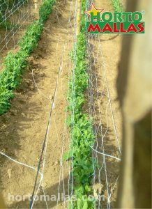 A crop of peas with a double panel configuration of HORTOMALLAS extruded trellis netting