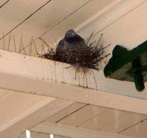 nido de paloma en picos anti palomo