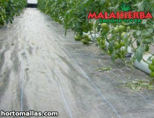 cultivo de tomate utilizando tela anti maleza