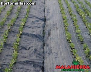 malahierba ground cover en cultivos