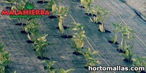 cultivo en campo protegidos con tela MALAHIERBA
