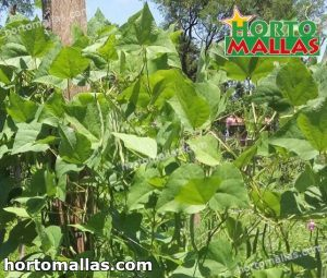 plants cropfield using support net