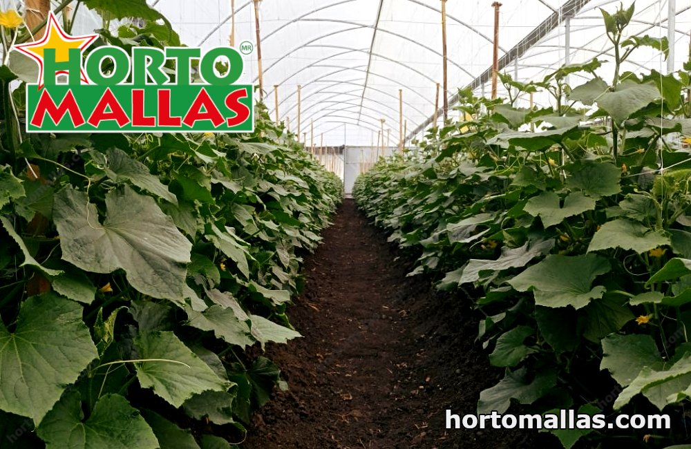 With the HORTOMALLAS® trellis network, cucumbers grow in a safe way.