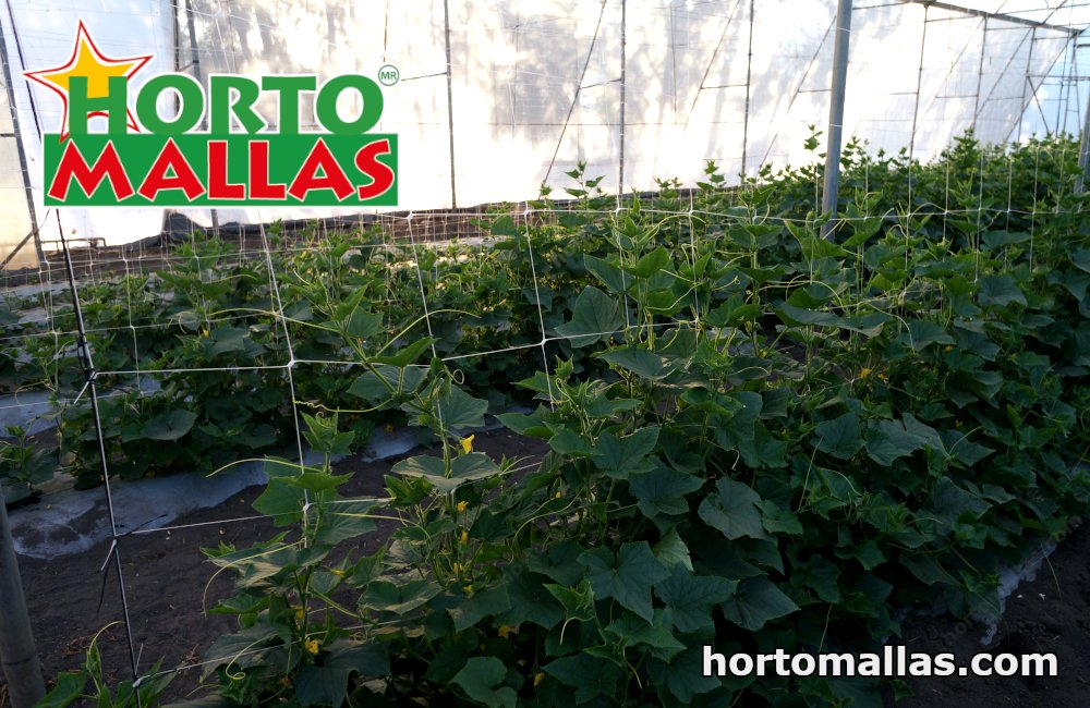 Cucumbers, being of the cucurbtacea family, benefit greatly by being trained to cucumber netting
