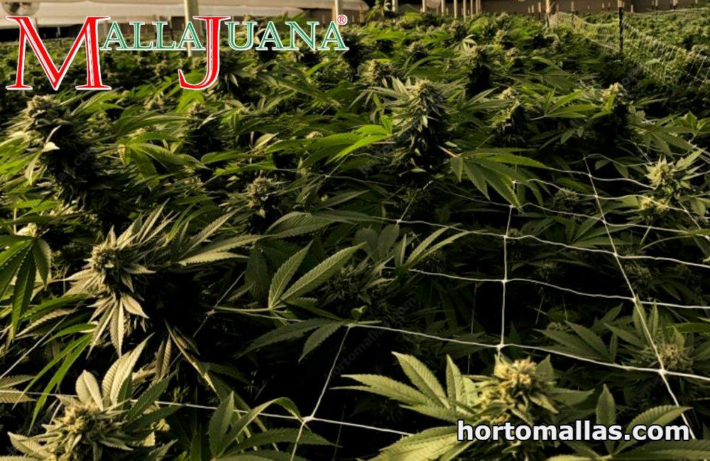 Use of MALLAJUANA® with the SCROG plant training method