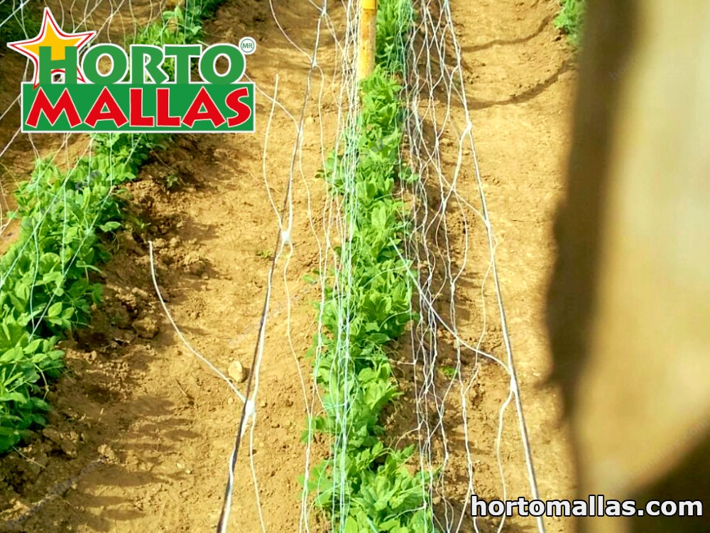 A crop of peas with a double panel configuration of HORTOMALLAS® extruded trellis netting