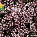 Tomillos/Thymus