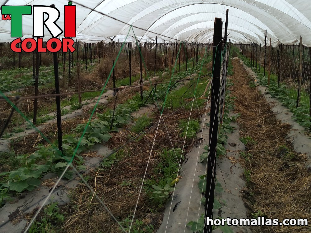 hectare entutorada with cucumber mesh