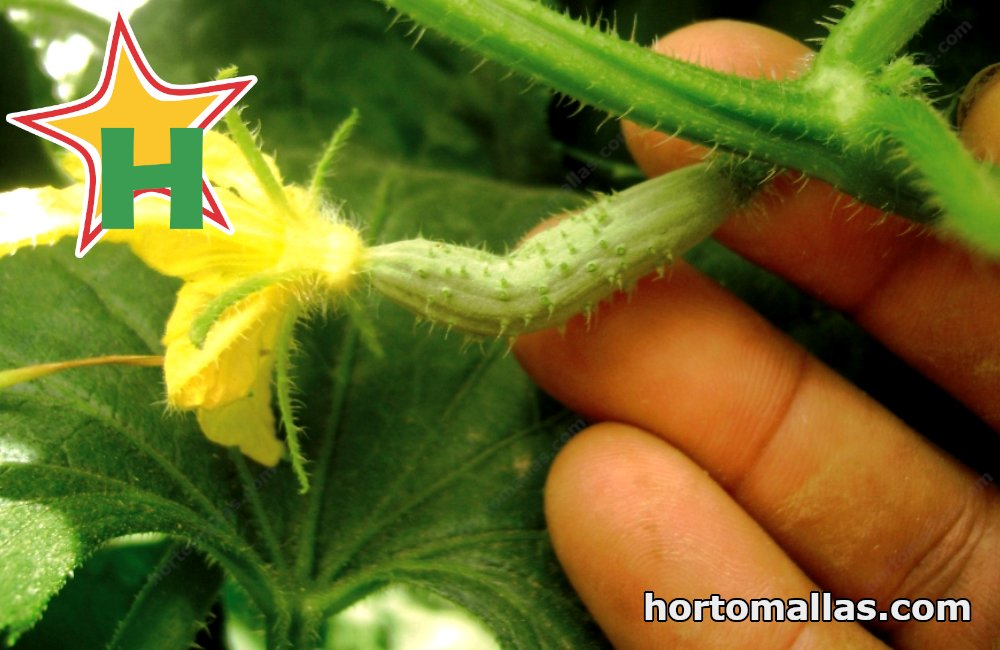 Pruning of stems and leaves is a manual operation that can transmit virosis mechanically. The use of HORTOMALLAS® guard mesh reduces the incidence of this type of transmission.