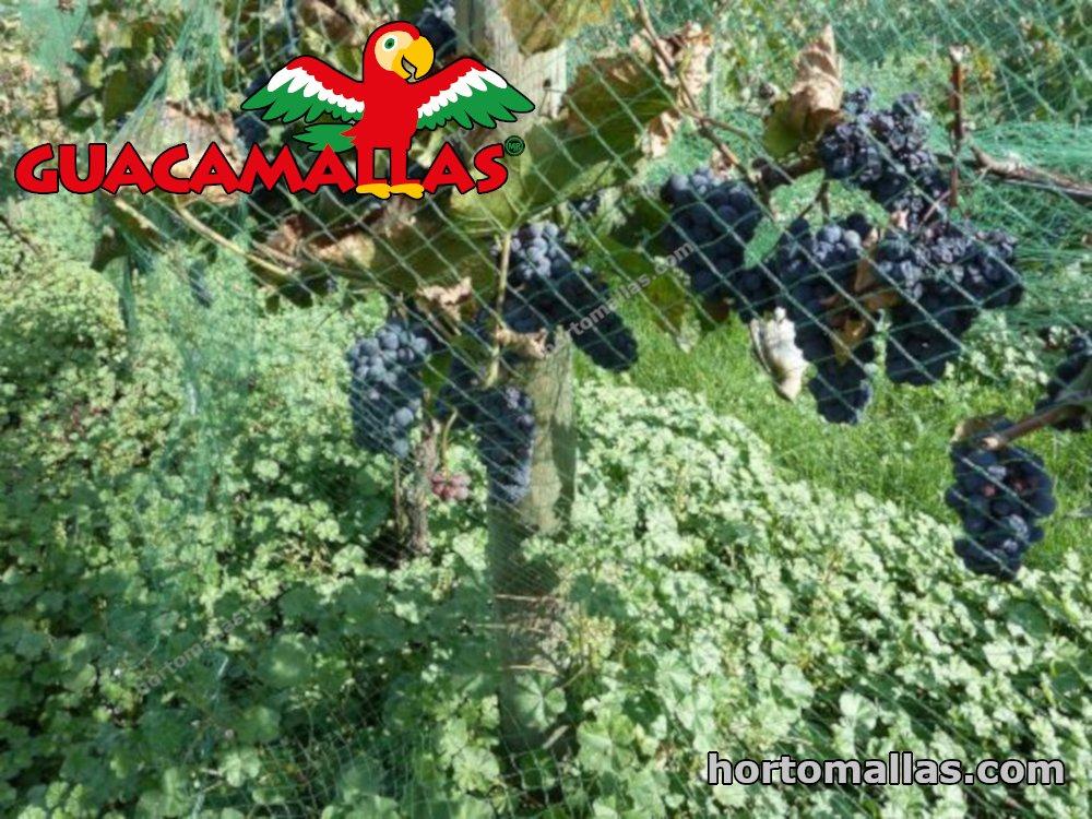 El Mejor momento para poner Malla Anti Aves sobre Plantas de Uva.
