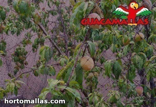 malla guacamallas en arbol con frutos