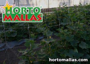 Cucumber plant greenhouse