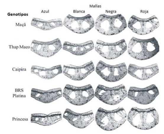 fotomicrografias de hojas de platano cultivados en diferentes calidades de luz