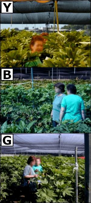 Altura de la planta con mallas fotoselectivas.