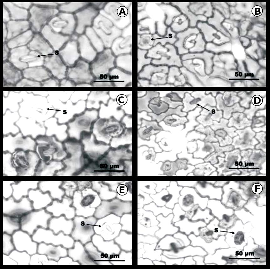 Fotomicrografías de la epidermis de la hoja de Ocimum selloi