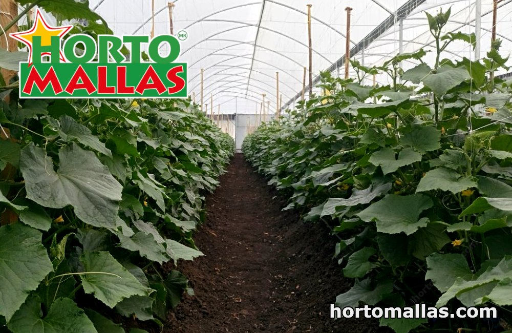 Growing cucumbers on a cucumber trellis, increases yield and reduces mycosis as a result of better air circulation.