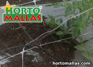 tomato net being installed inside a growing tunnel