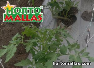 Cultivation field with tomato and espalier mesh