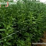 Cultivo de plantas con uso de malla para scrog MALLAJUANA
