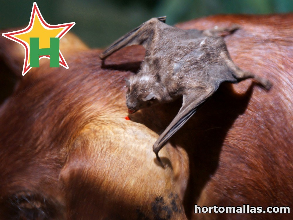 Murciélago chupando sangre