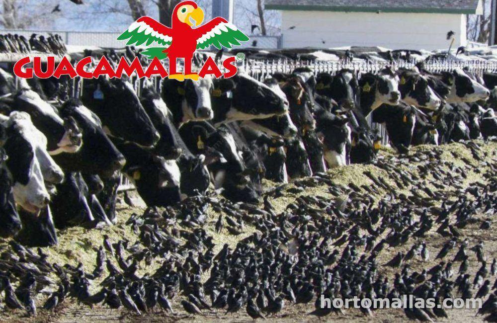 pájaros invadiendo el área del ganado