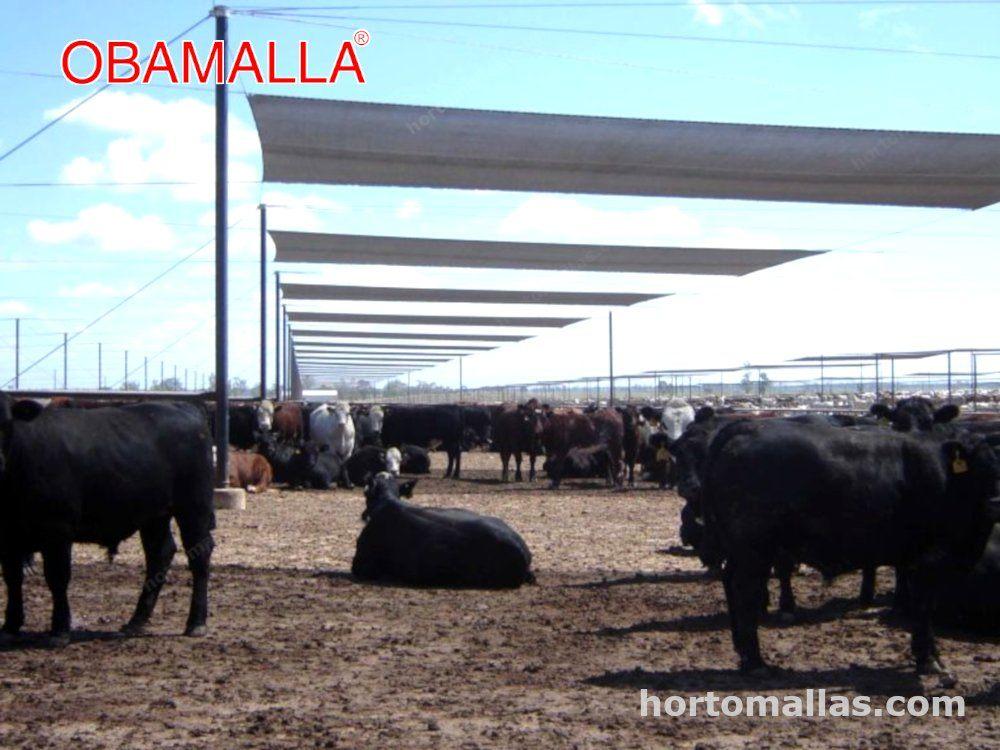 ganado vacuno protegido por malla sombra obamalla